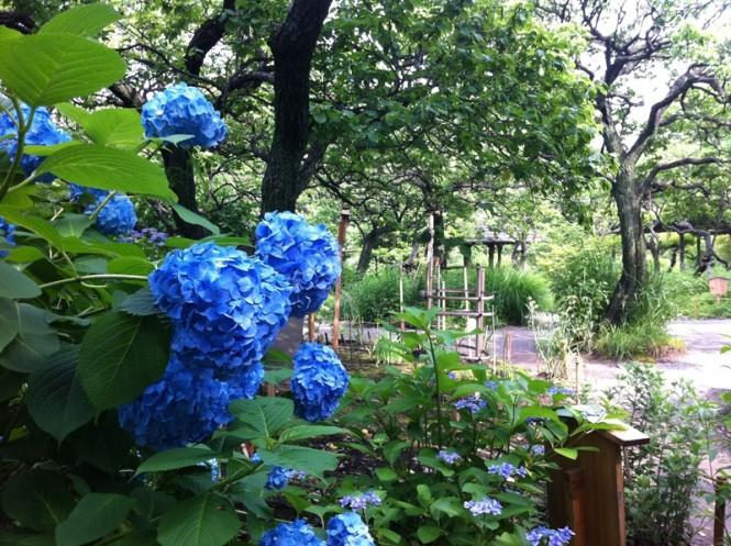向島百花園 紫陽花 iPhone01