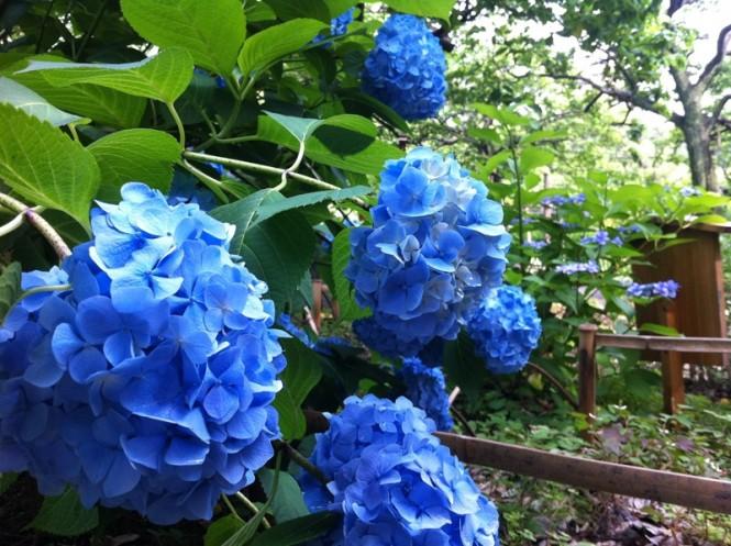 向島百花園 紫陽花 iPhone03