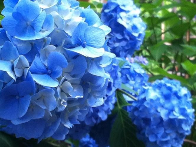向島百花園 紫陽花 iPhone02
