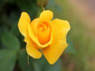 京成バラ園 黄色いバラ